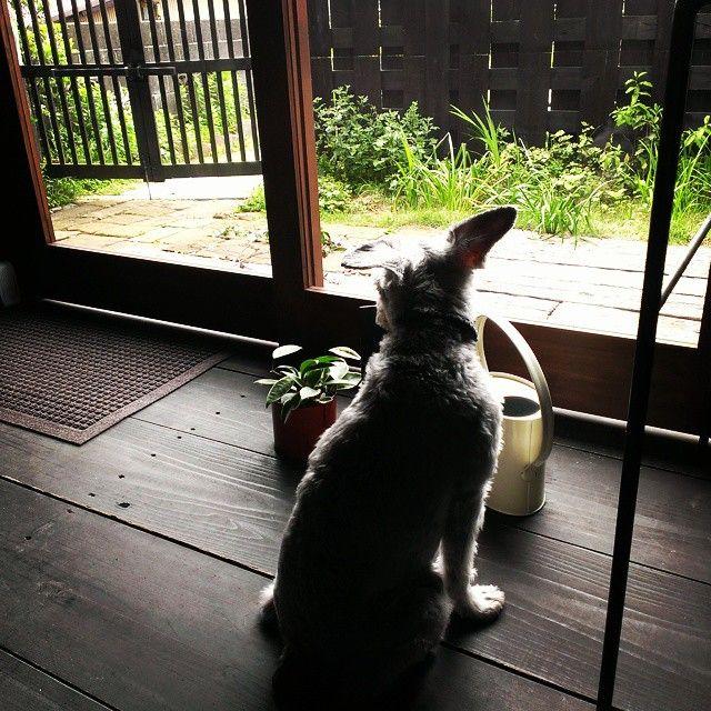 犬#RYU#シュナウザー#気流#気流Life  お休みだけど番犬中