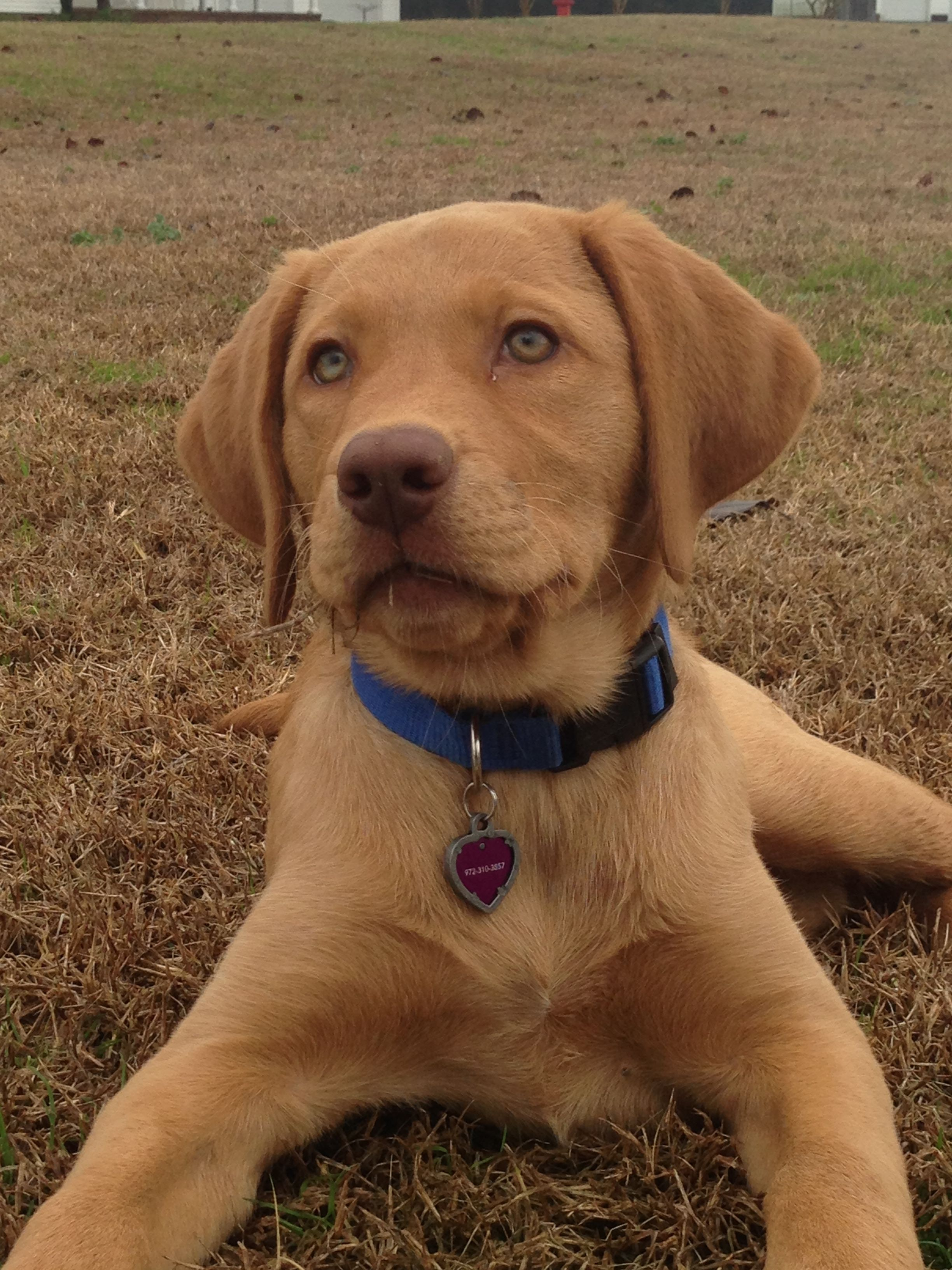 Fox red lab So cute!! … (With images) Fox red labrador
