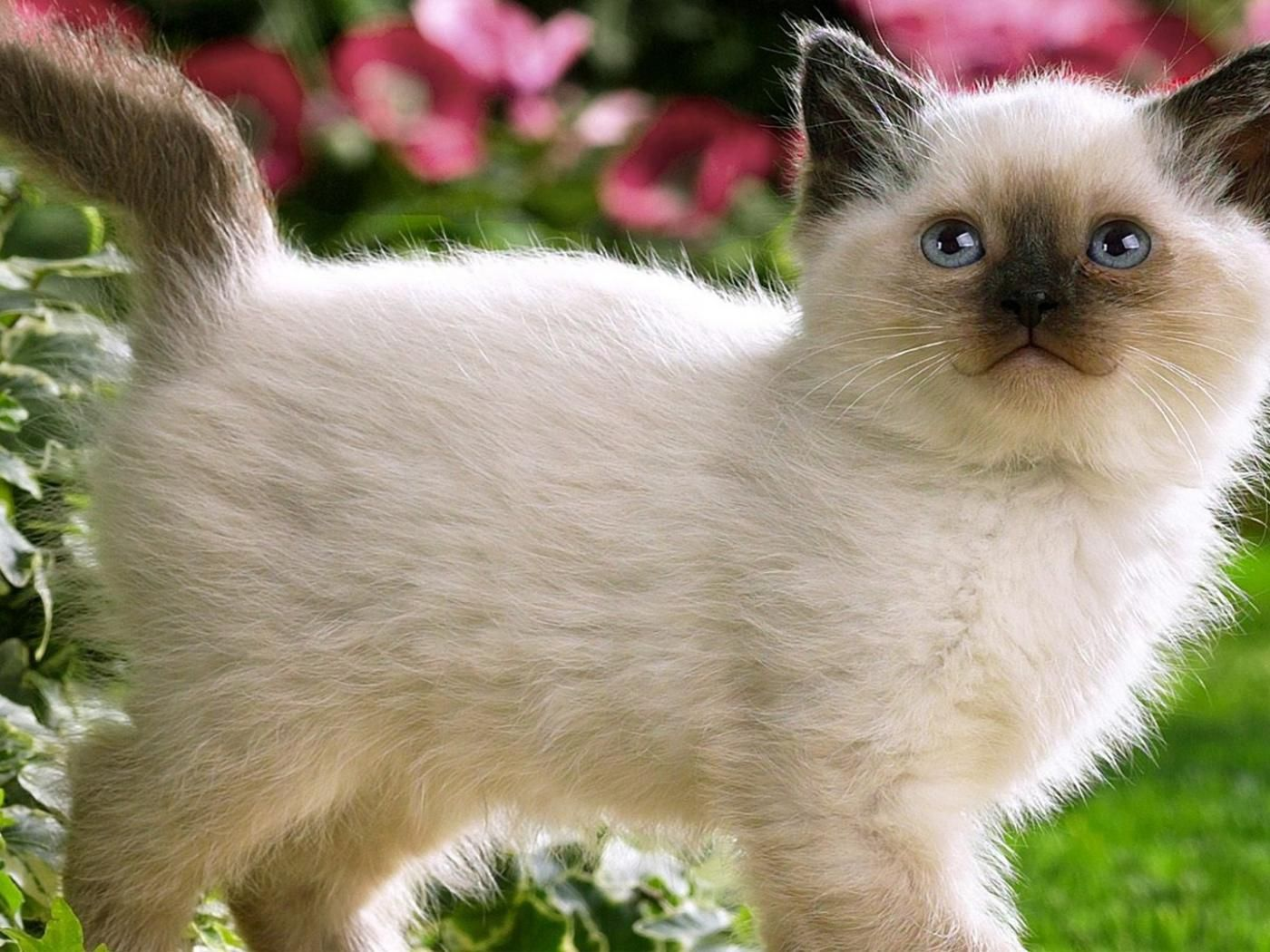 fluffy bay siamese kittens Calico Kitten Wallpaper
