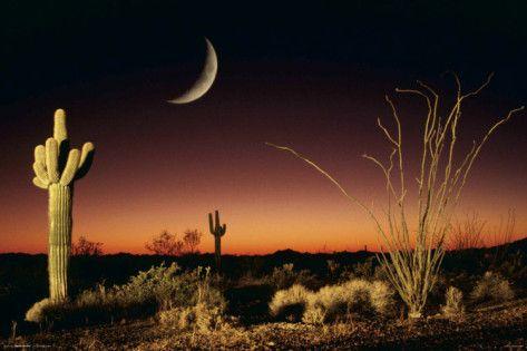 Arizona - Ocotillo und Saguaro Foto bei AllPosters.de
