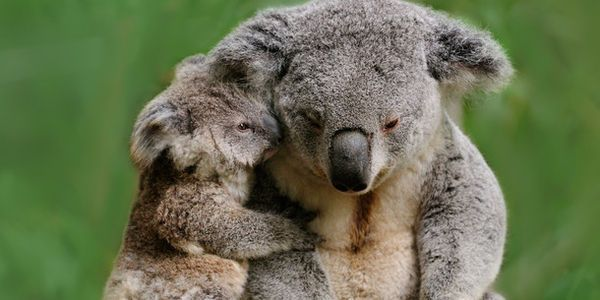 Petition: Save Koalas! Demand a tightening of Queensland tree clearing laws.