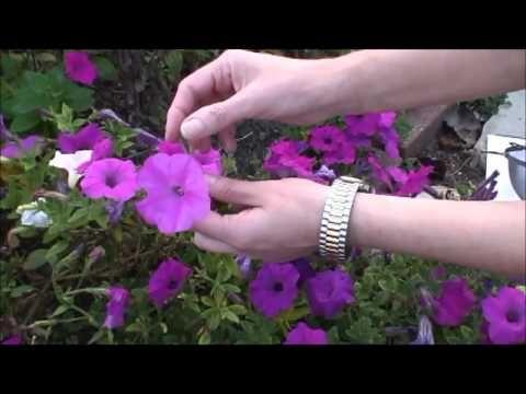 Collecting Petunia Seeds Petunias Petunia Flower Container Garden Succulents