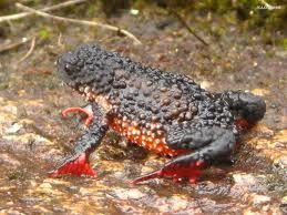 Melanophryniscus moreirae ( Anura Bufonidae) - Parque Nacional de Itatiaia  - Pesquisa Google