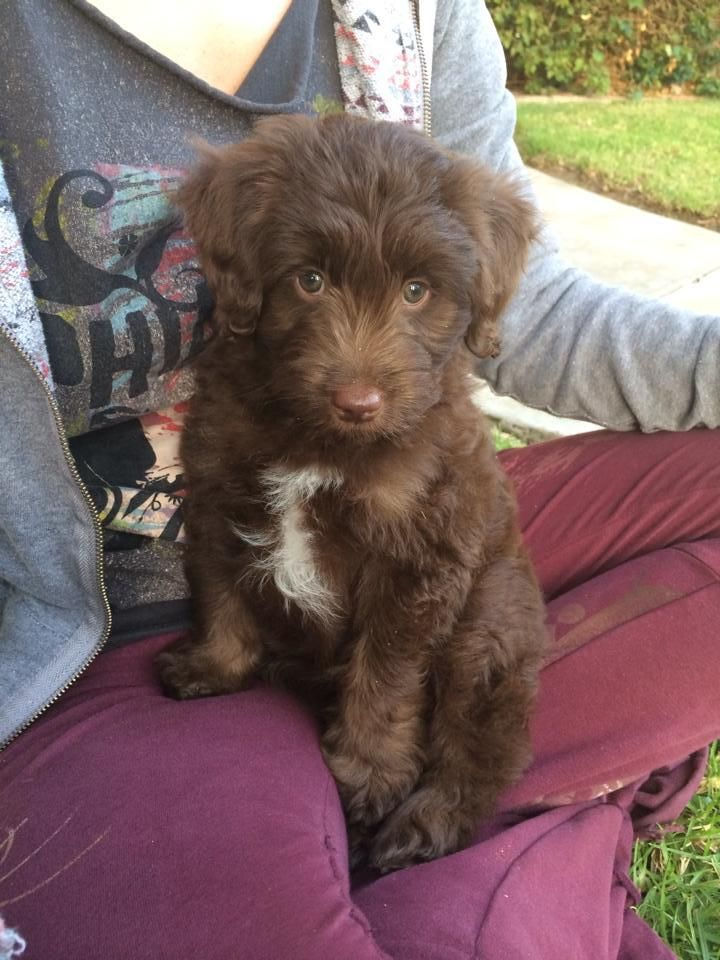 Mini Aussiedoodle Puppies Summer 2014 Aussiedoodle and