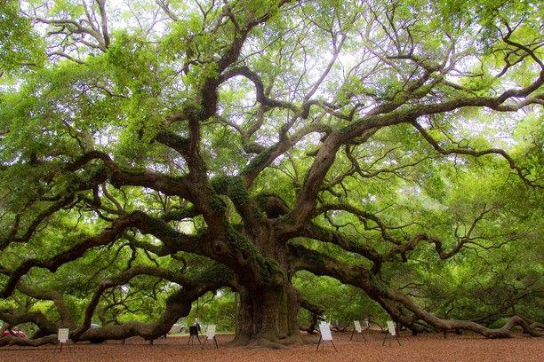 Angel Oak Tree Charleston South Carolina By Eli Ditmore Eiche Alte Baume Baum