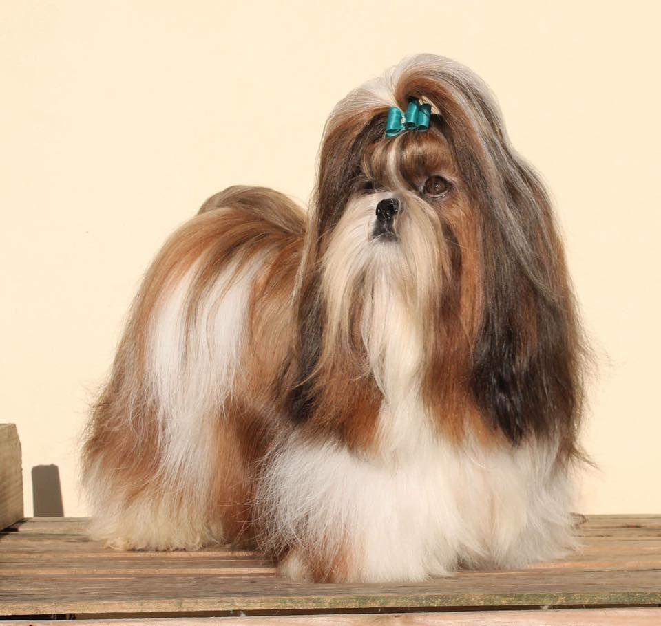 Shih Tzu Affectionate And Playful Shih Tzu Long Hair Shih Tzu Shih Tzu Dog