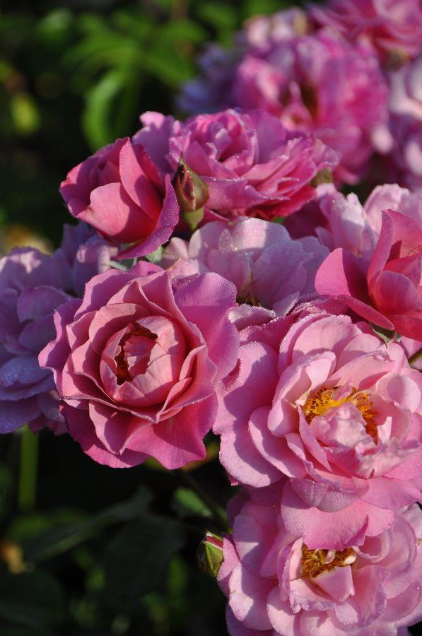 Climber Rose「Royal Lavender」