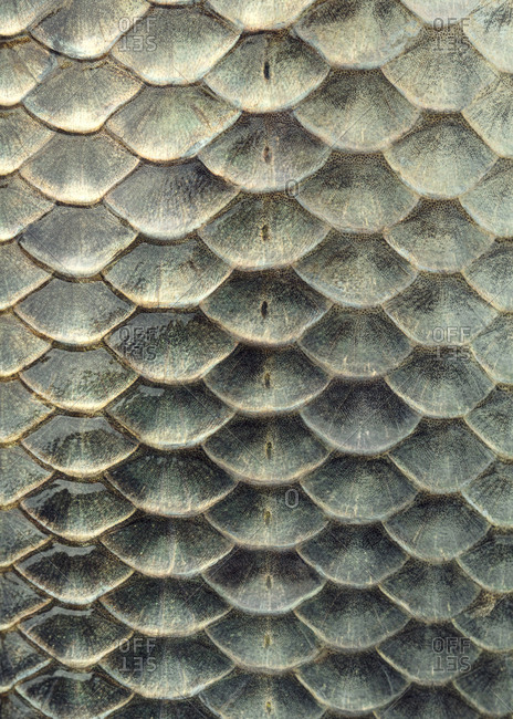 Fish Scale Design Stock Photos Offset Scale Design Fish Scale Pattern Fish Scales