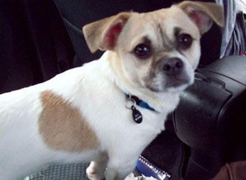 Pekingese Chihuahua Mix Lost In Dover Pa Area Pekingese Chihuahua Designer Dogs