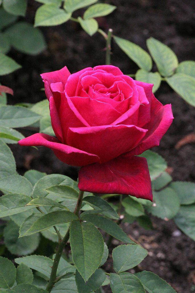 Hybrid Tea Rose Rosa Chrysler Imperial Rosaceae C20100620