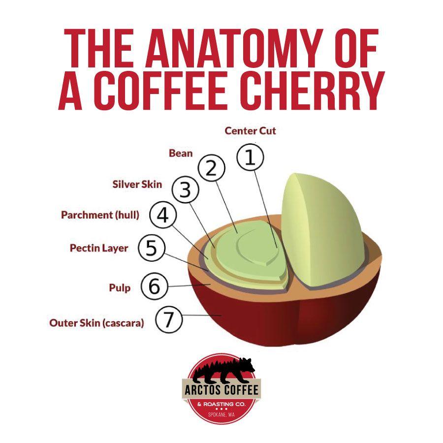 The Anatomy Of A Coffee Cherry Arctos Coffee Roasting Company Pumpkin Spice Coffee Recipe Coffee Process Coffee Roasting