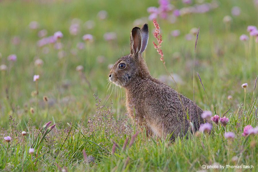 european hare lepus europaeus | european hare lepus europaeus lat lepus europaeus uk brown hare de ...