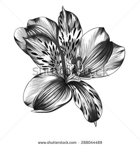 Alstroemeria Stock Photos Images Pictures Waves Tattoo Lilies Drawing Flower Tattoos