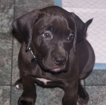 Guinness The Chocolate Lab Boxer Mix Puppy At 2 Months Old