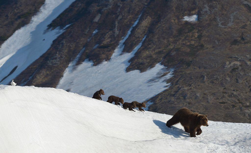 Куропат vs медвежья семья - Игорь Шпиленок