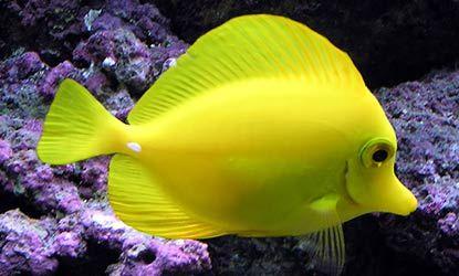 Hawaiian reef fish and yellow tang yellow pinterest for Yellow saltwater fish