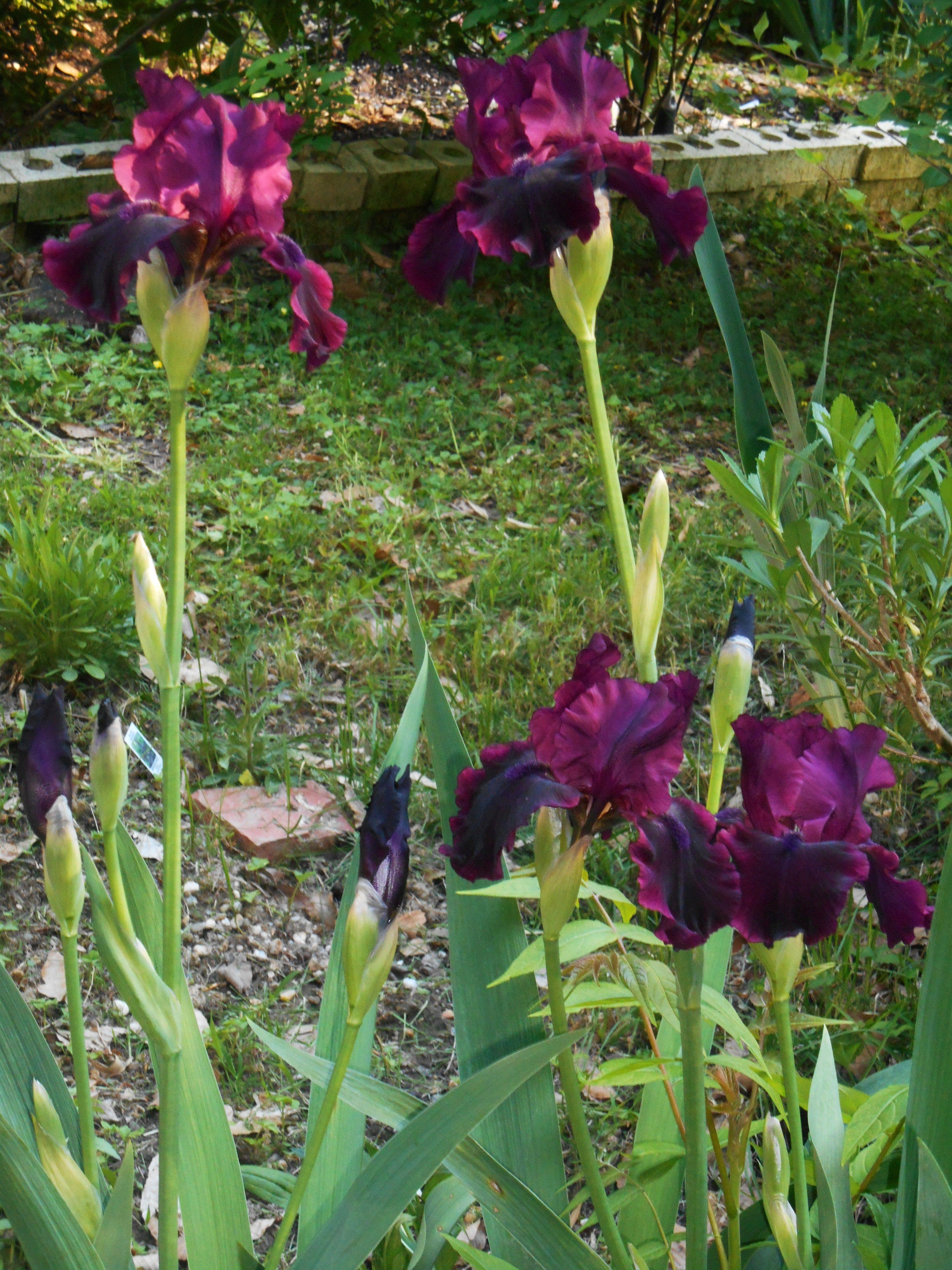 Pin by Louise Womack on Iris garden lights Iris garden
