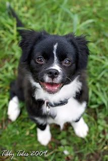 Tibby Tales The Bordhuahua Chihuahua Chihuahua Mix Puppies Border Collie Puppies