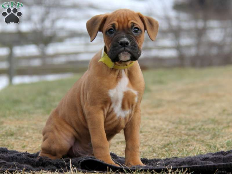 Boxer Puppies For Sale Greenfield Puppies Boxer Puppies For