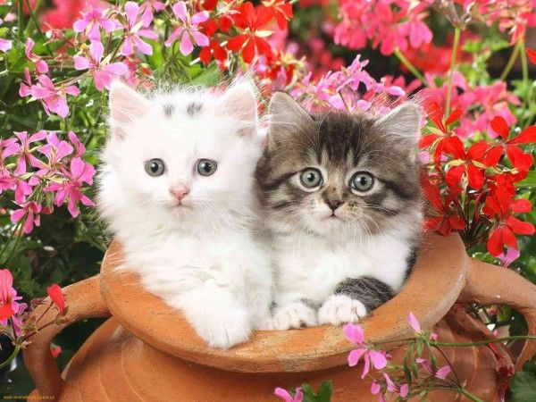 A Kitten Or Kitty Is A Juvenile Domesticated Cat A Feline Litter Usually Consists Of Two To Five Kittens T Cute Cat Wallpaper Kitten Wallpaper Kittens Cutest