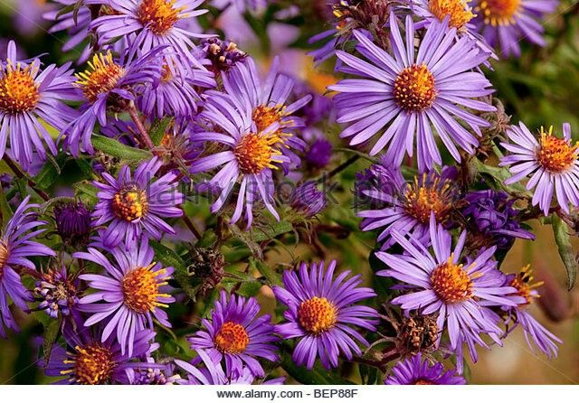 New England Aster Late Summer Meadow Plants Garden