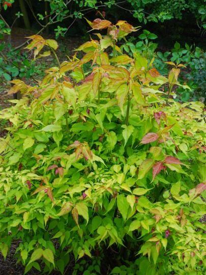 Bluebell Nursery Trees Shrubs Leycesteria Formosa Golden Lanterns