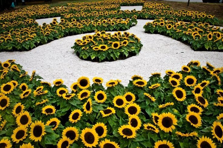 Pin By Lana Hebert On Out And About Beautiful Flowers Garden Sunflowers And Daisies Sunflower Garden