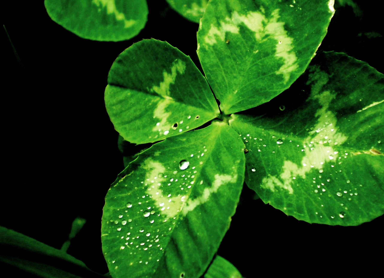 Legenda Dan Kisah Romantis Daun Semanggi Empat Four Leaf Clover Clover Plant Leaves