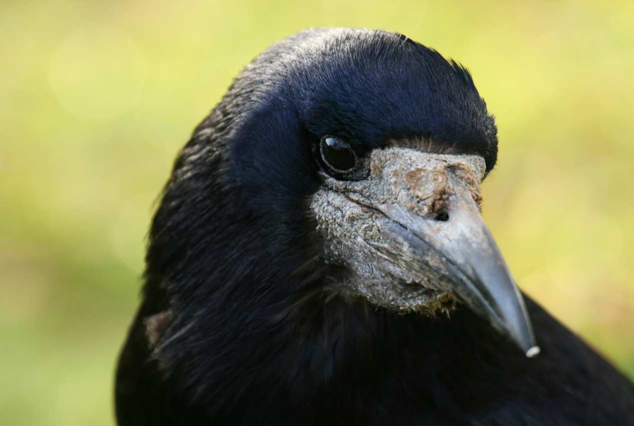 A Close-Up Of The Head Of The Rook Bird