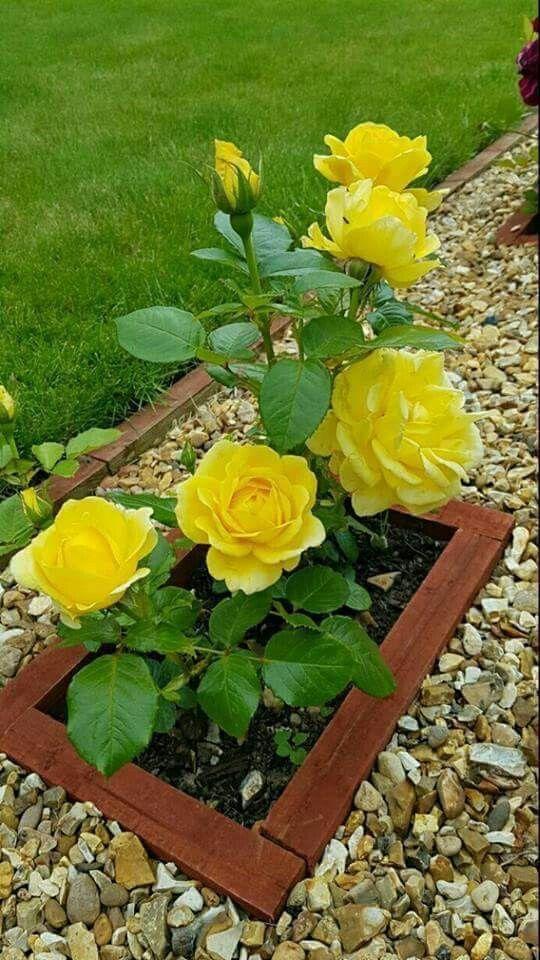 Pin By Patti Ferguson On Floral Pinterest Yellow Roses Gardens
