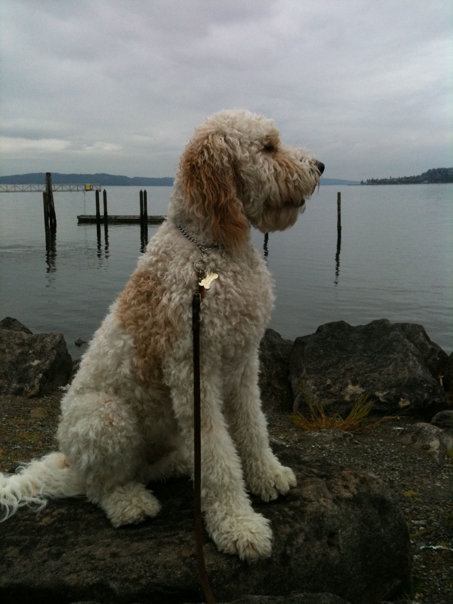 Labradoodle. A lab mixed with a poodle makes for a large