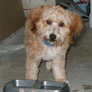 Yorkipoo - Yorkshire Terrier / Poodle mix | Terrier poodle ...