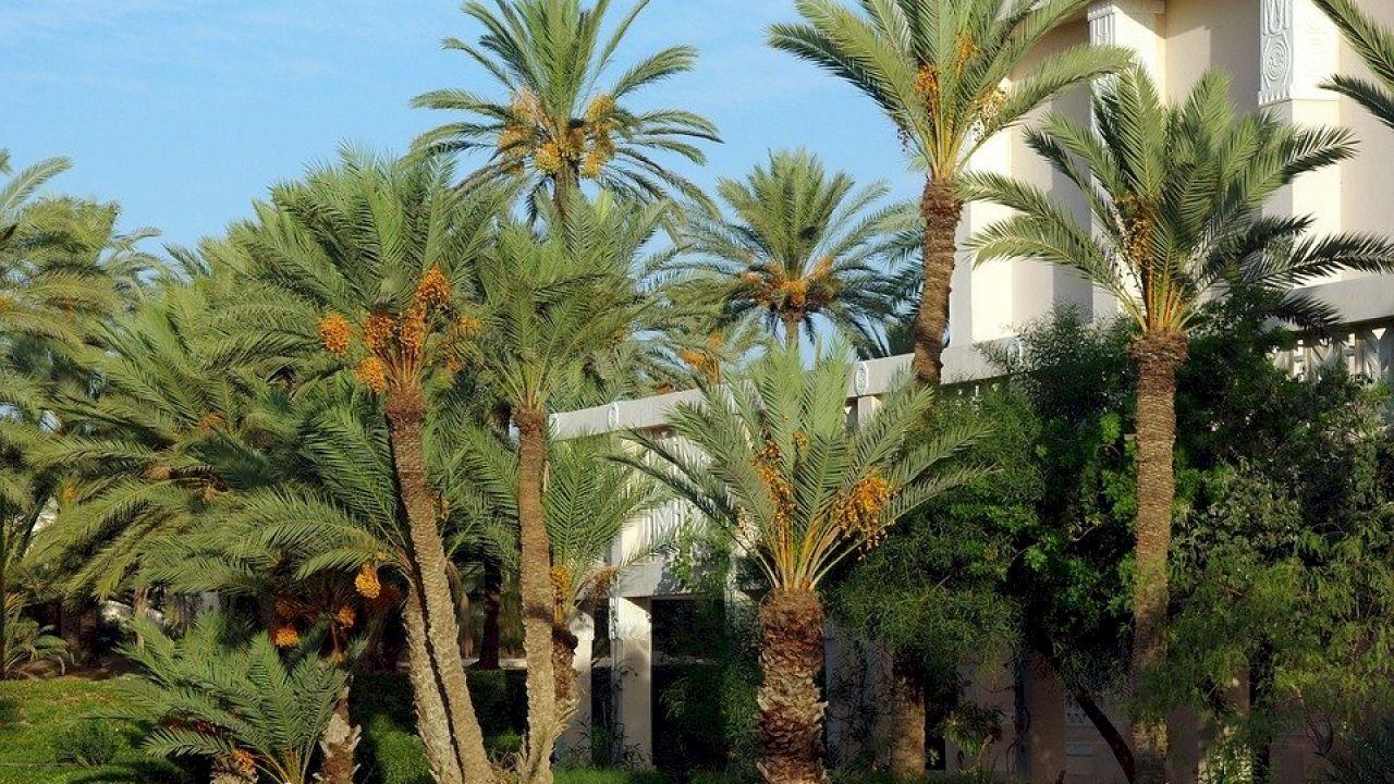 ما هي فوائد النخلة Palm Plants