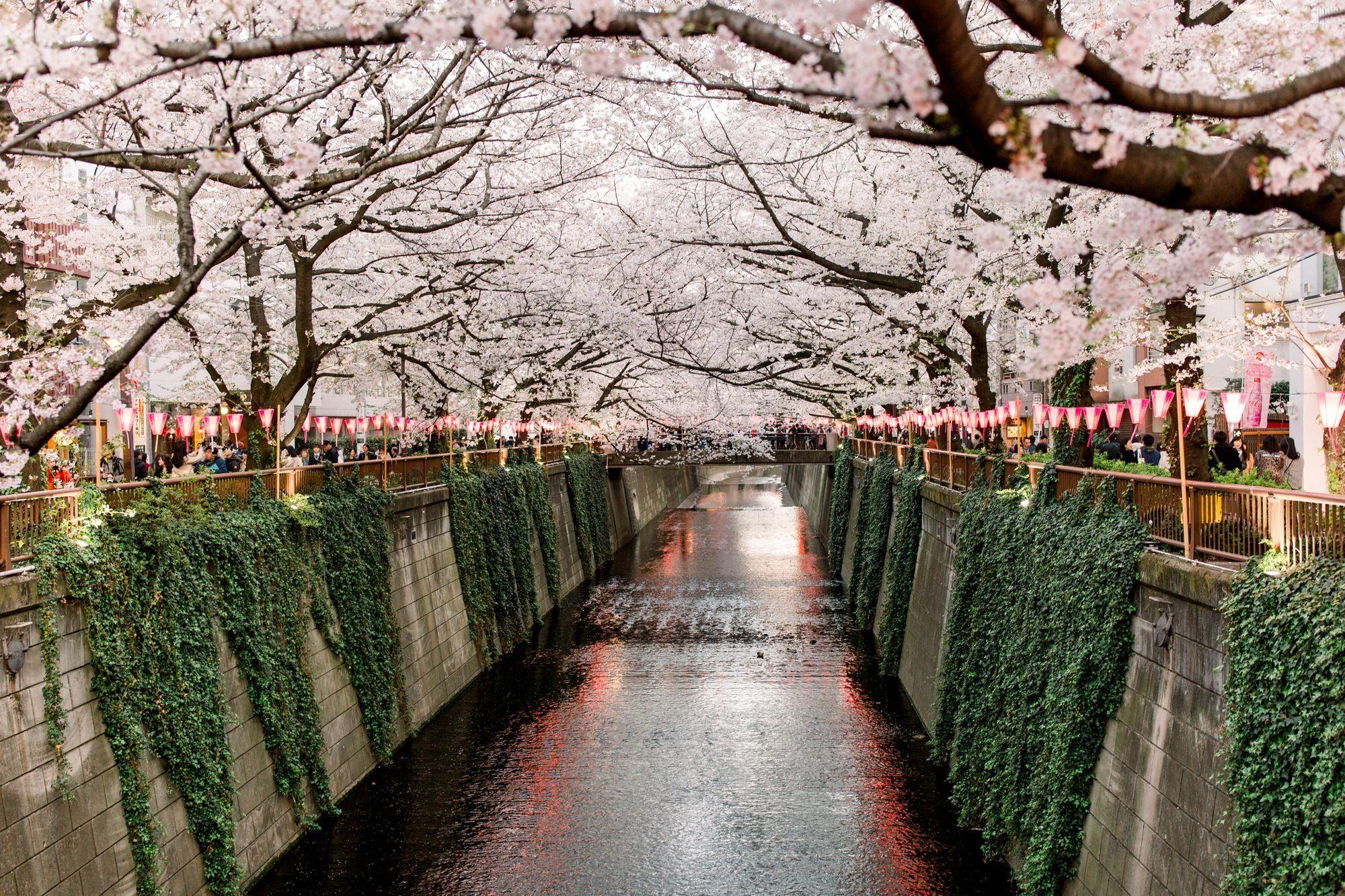 Japan Cherry Blossoms Cherry Blossom Season Around The Worlds Cherry Blossom Background