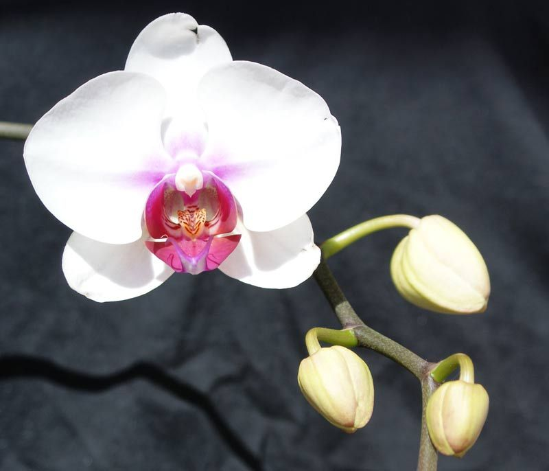 If The Flowers Are Falling Off Prematurely It Could Be Bud Blast Which Is Caused By A Sudden Change In Environment Temperat In 2020 Orchid Flower Orchid Care Orchids