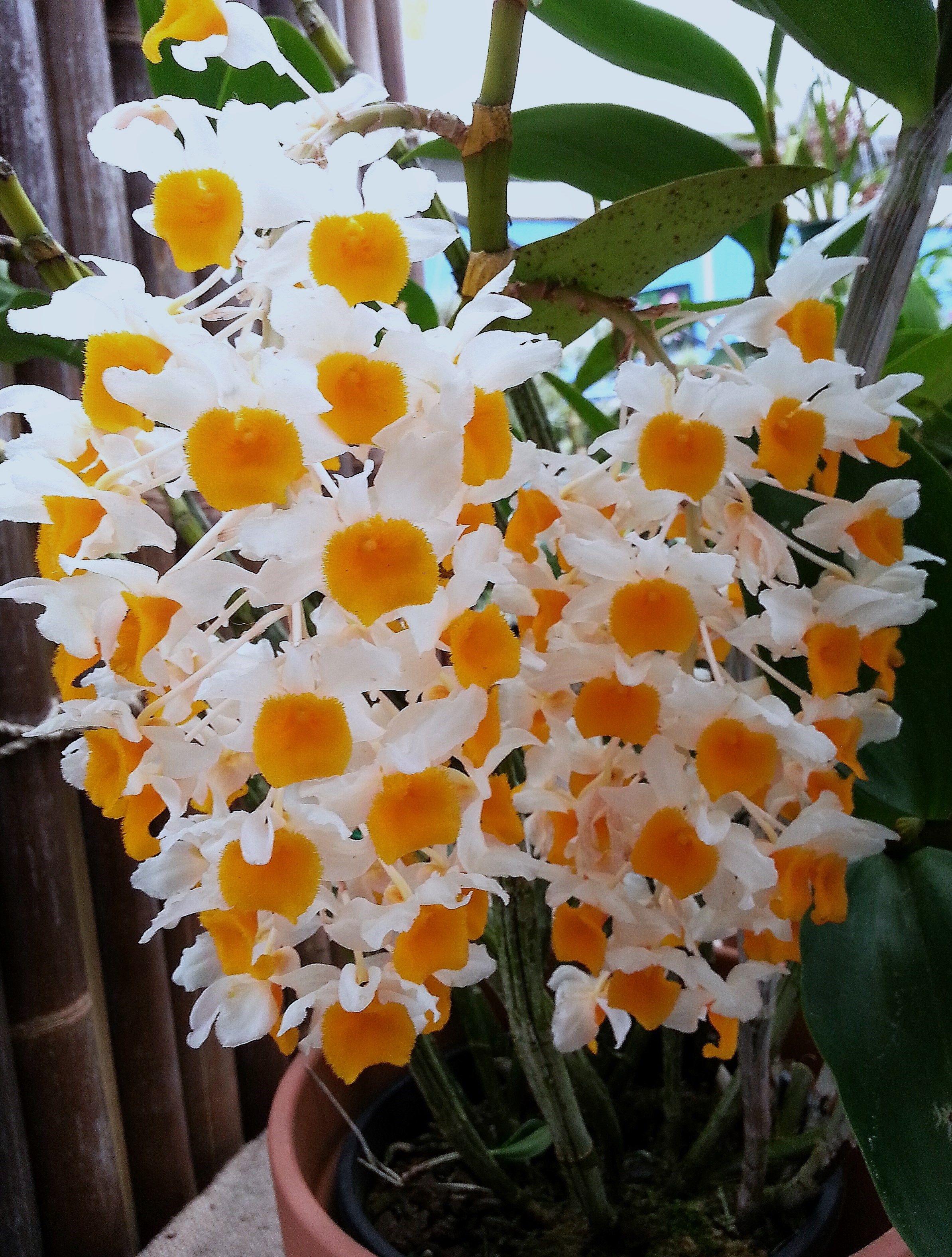 Dendrobium Orchid Den Densiflorum Alba Lutea Dendrobium Orchids Flower Photos Orchids