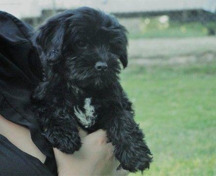 Maltipoo Puppy For Sale In Azle Tx Adn 29410 On Puppyfinder Com Gender Male Age 7 Weeks Old Maltipoo Puppy Maltipoo Puppies For Sale Maltipoo