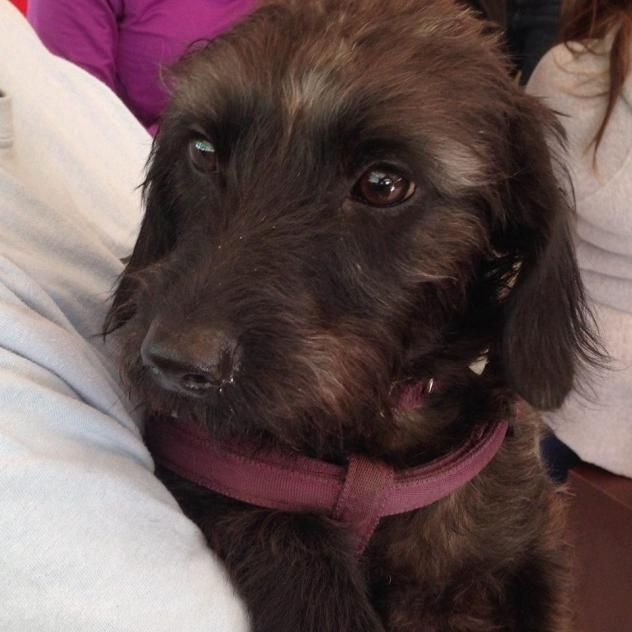 Leia Wire Hair Dachshund Mix & Terrier • Adult • Female • Small ...