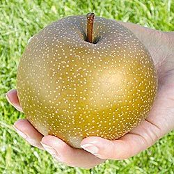 Phrase simply Asian pear nursery remarkable, the