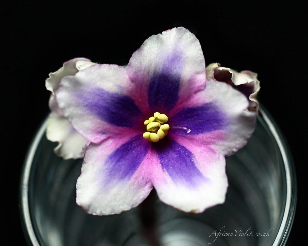 African violet chimera 8e dance macabre is a very rare chimera i african violet chimera 8e dance macabre is a very rare chimera ill unusual flowersrare flowersbeautiful dhlflorist Images