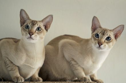 Mink Colours Tonkinese Tonkinese Cat Pretty Cats Cat Colors