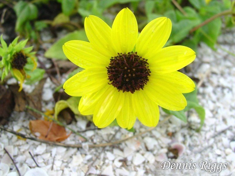 Dune Sunflower Or Beach Is A Sprawling Groundcover Of Green With Yellow Daisy Like Flower Farmfort Myersflorida
