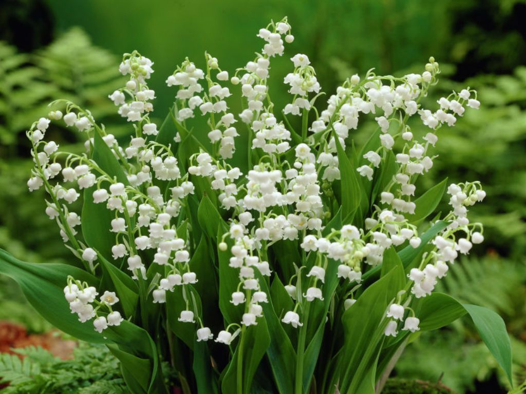Legends and facts about the lily of the valley myths stories tiny bell shaped flowers have a sweet fresh scent over time forms a dense attractive carefree ground cover izmirmasajfo