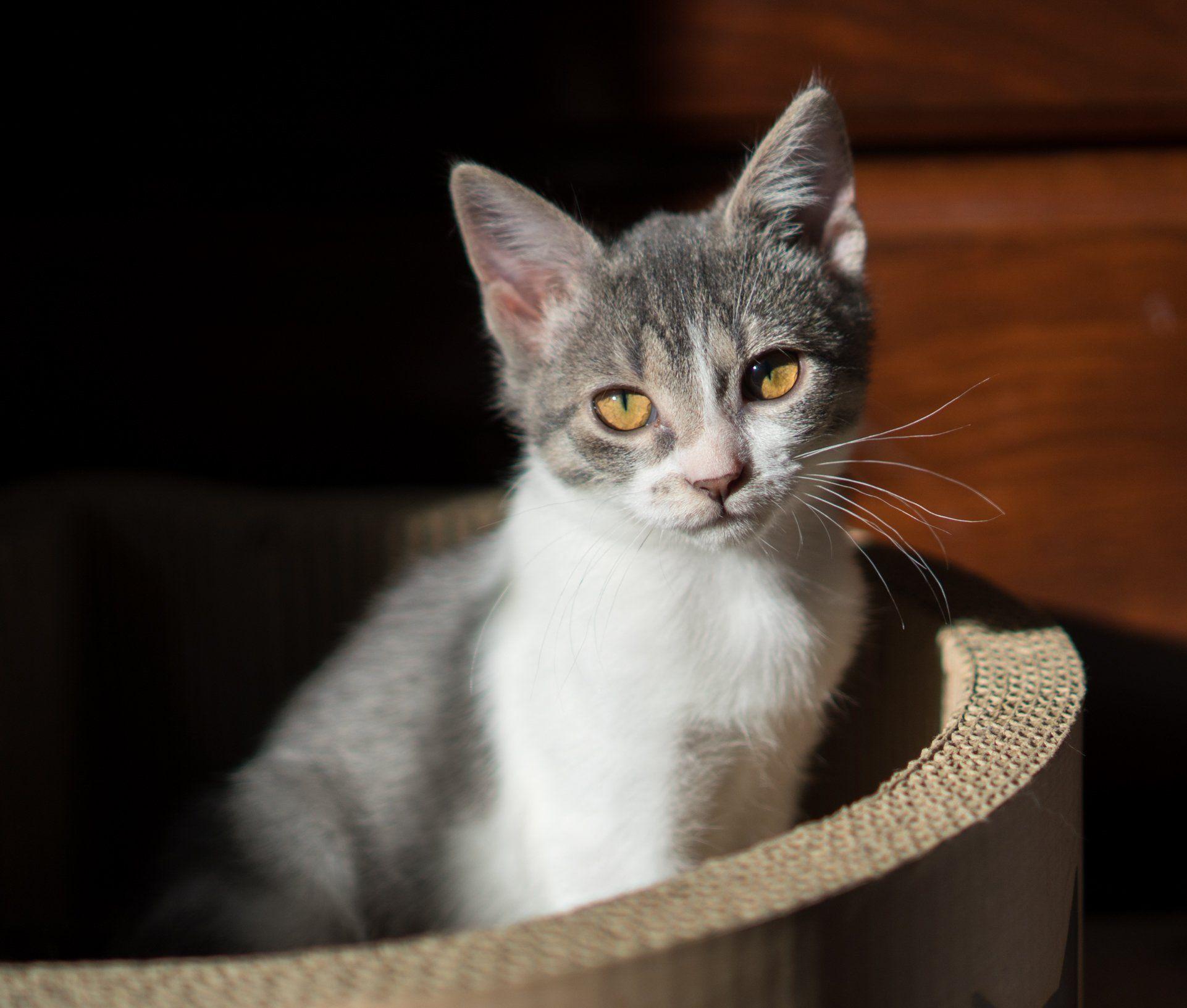 Ginko Female Online Adoption Form Kitten Academy Kitten Academy Twitter Crazy Cats Cute Cats Kitten