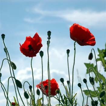 The poppy flower is a controversial flower it is the root for the poppy flower is a controversial flower it is the root for harmful drug abuse mightylinksfo Images