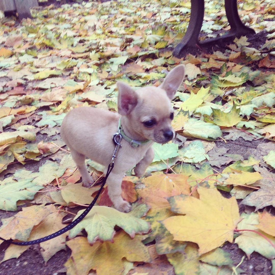Autumnleaves Chihuahua Chihuahuas Chihuahualove