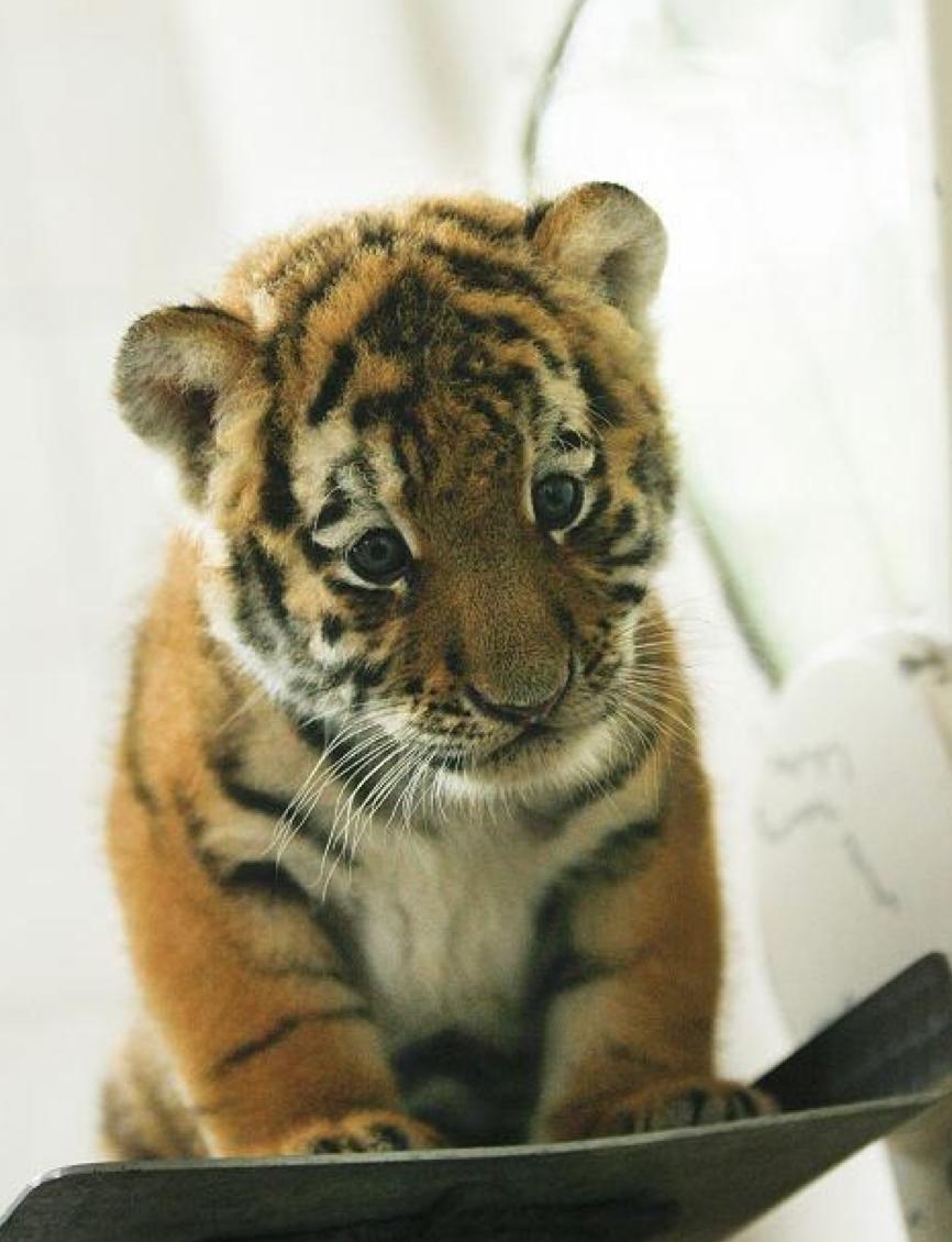 Suficiente filhote de tigre | pets | Pinterest | Filhotes de tigre  QF69