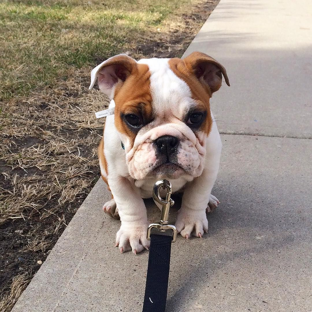 Edmonton Canada 10 Off Pawpack With Code Clementine Bulldogmemes Cute Dogs And Puppies Bulldog Funny Your Dog