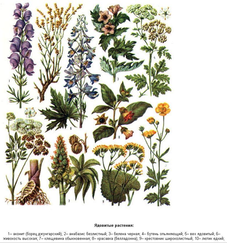 цветы и травы картинки с названиями горохоплодный
