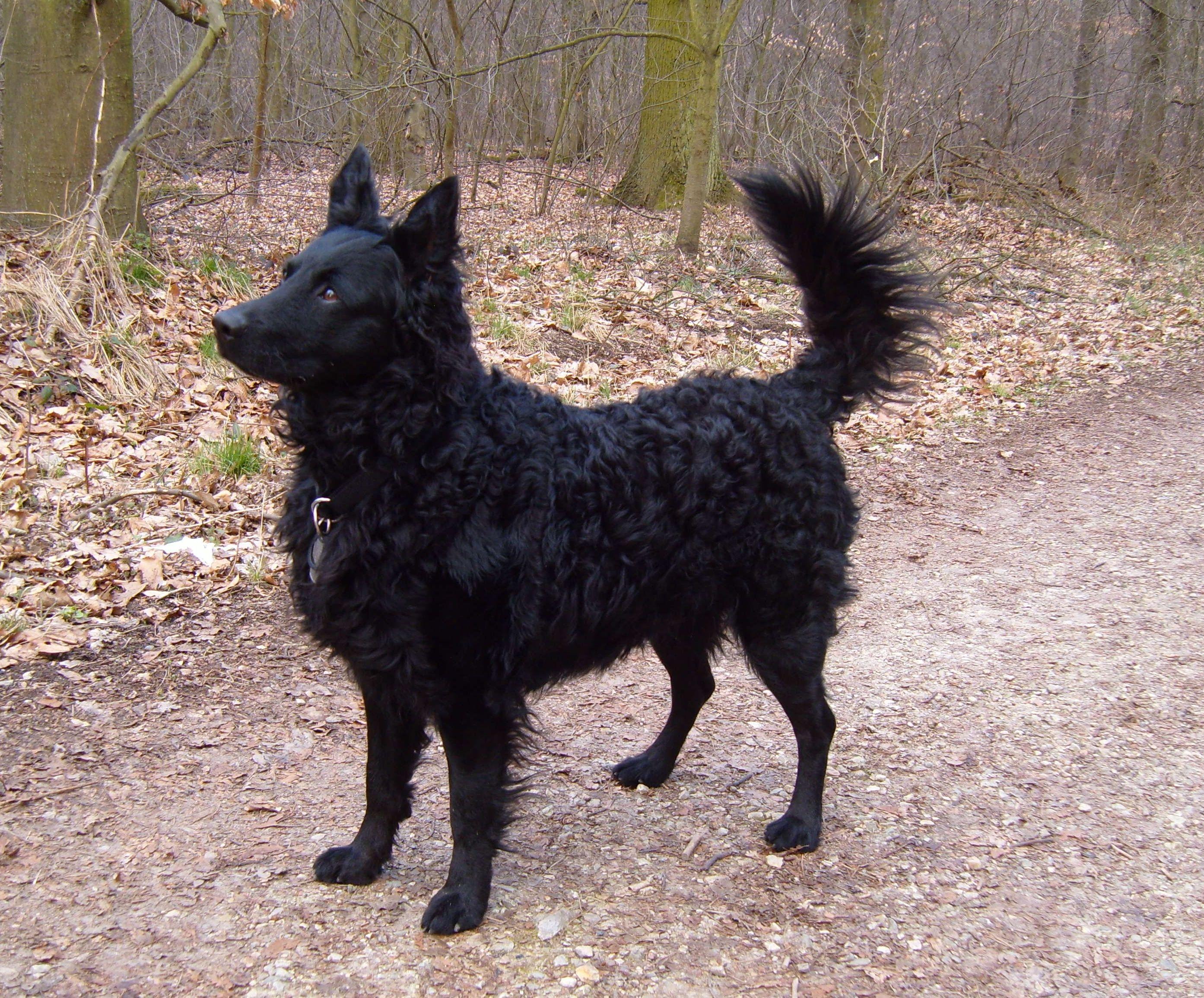 Kroatischer Schaferhund Hrvatski Ovcar Croatian Sheepdog Dog Breeds Animals